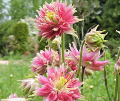 Big 3 bank holiday bloomers – Aquilegias, Forget Me Not, Perennial Wallflower