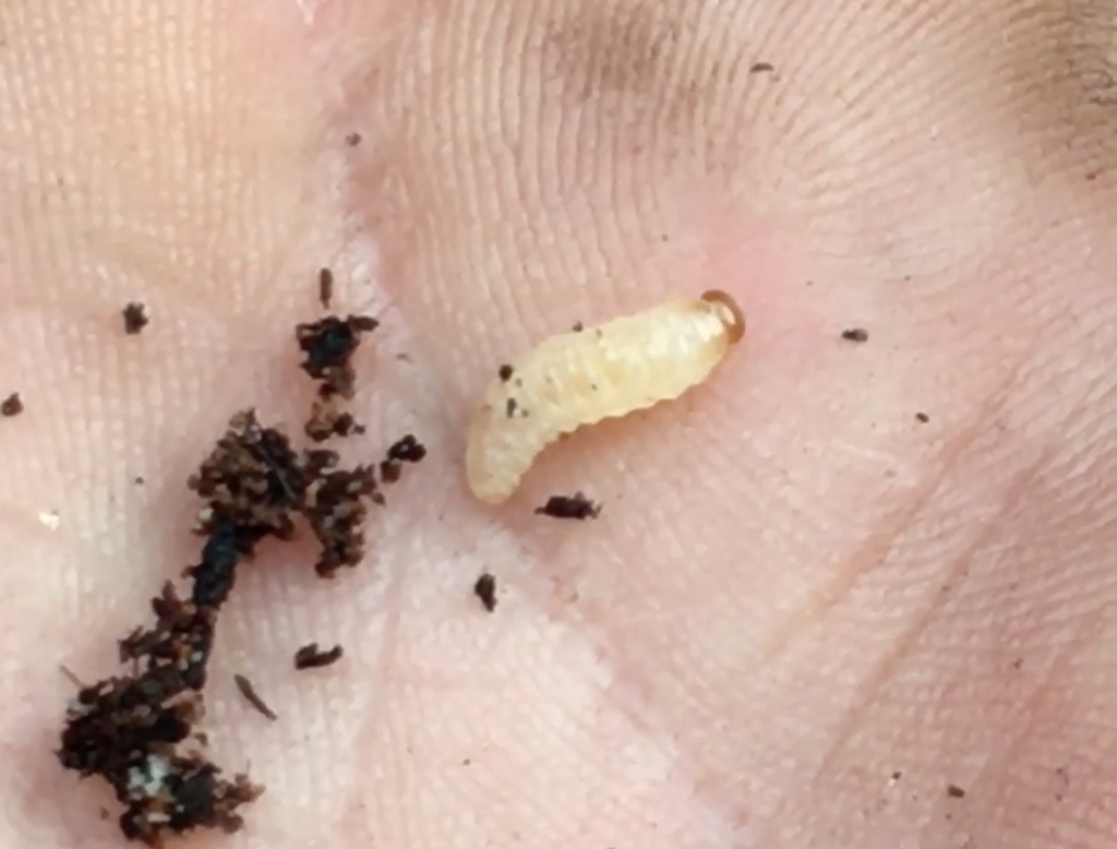 How to identify and treat Vine Weevil