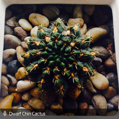 Urban Gardening dwarfchin-cactus