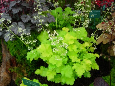 Heuchera – the evergreen all rounder