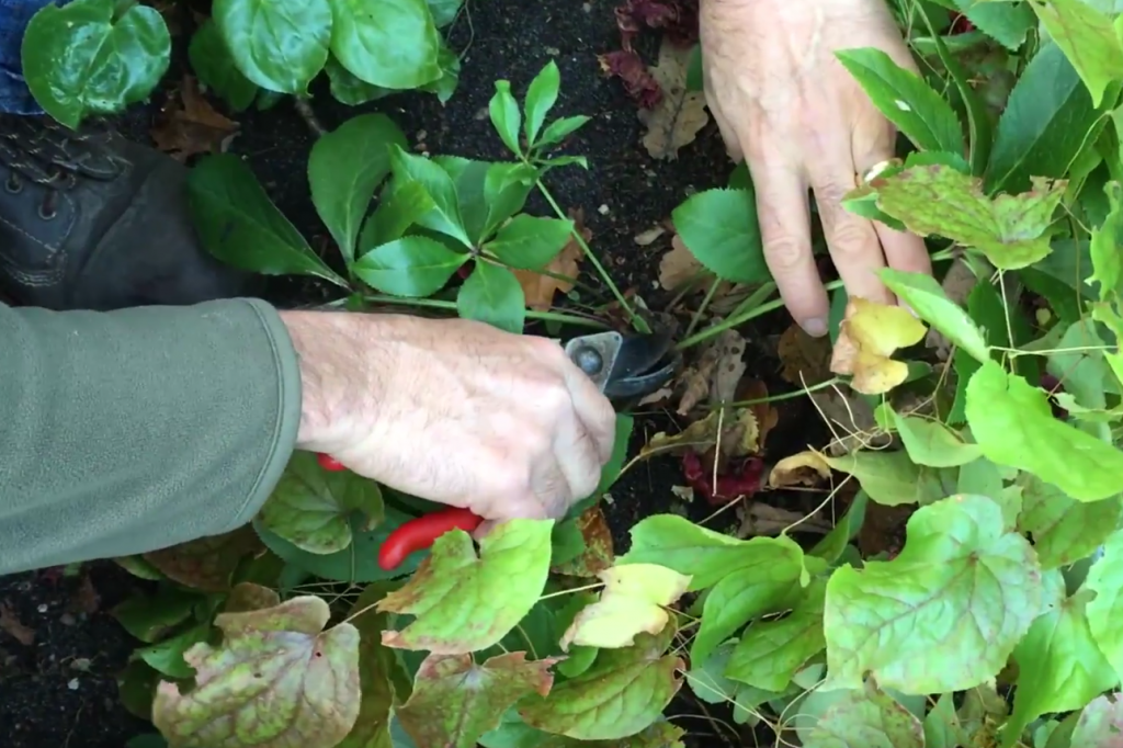 How to cut back hellebore foliage – video guide