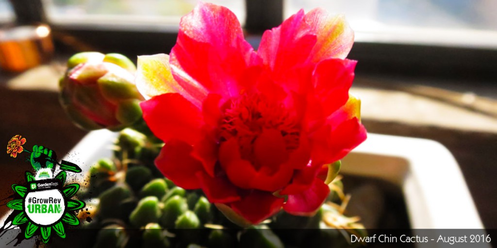 Urban Gardening Adventures - Kyle Leonard - Growing Cacti