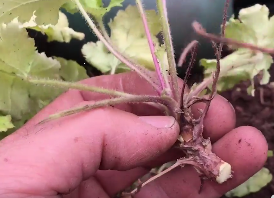 Video – Propagating Heuchera How To Video