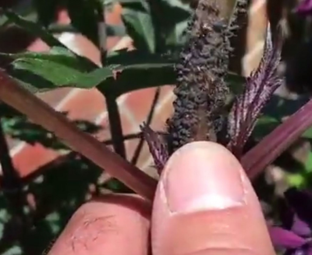 How to treat aphids