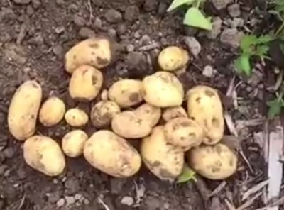 How To Harvest Potatoes