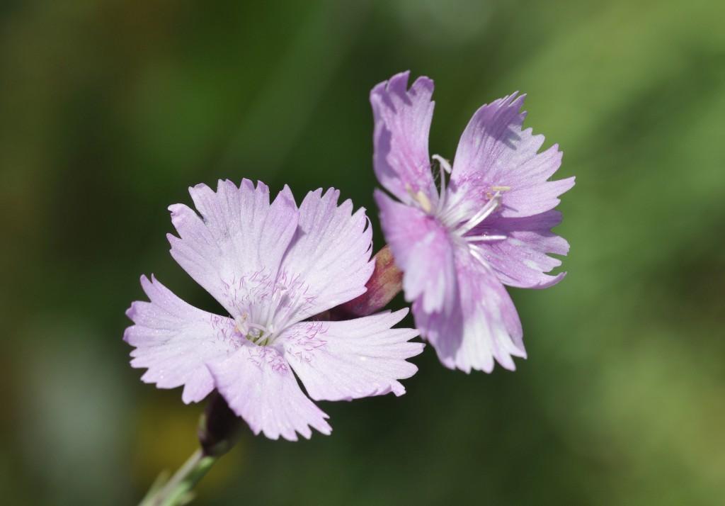 Top 10 wildflower rock garden plants