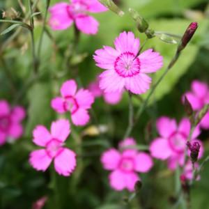 Maiden Pink flowers (Dianthus deltoides)