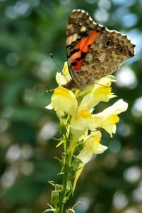 Toadflax, Common Linaria vulgaris