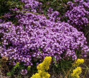 Thyme, Wild Origanum vulgare