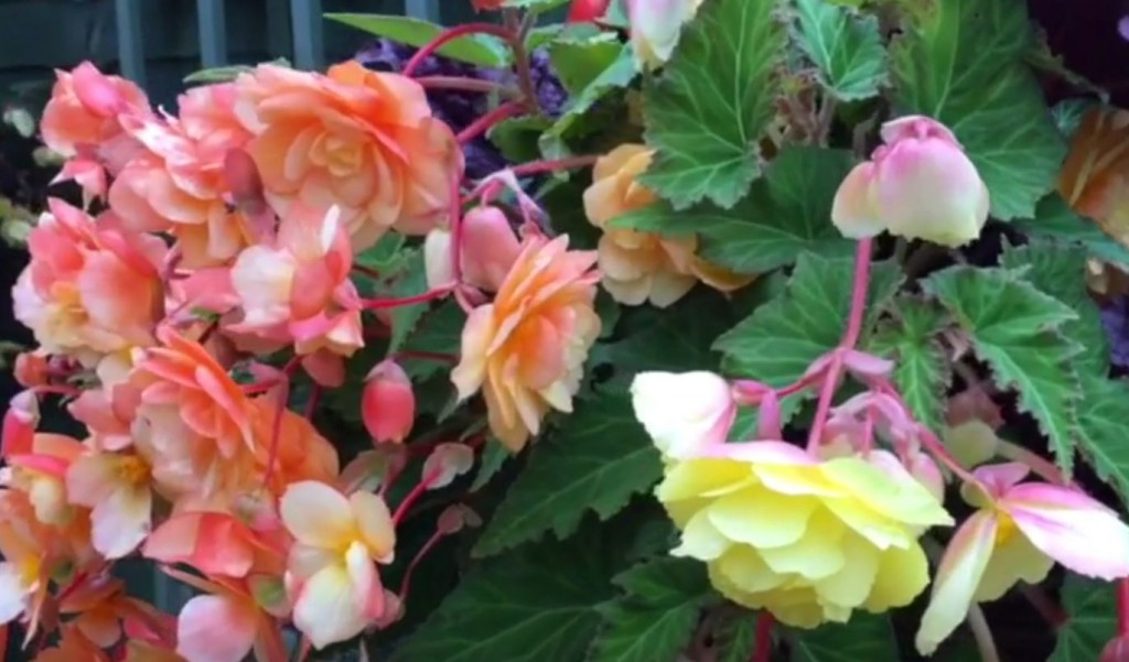 Hanging baskets – tips to make them last longer