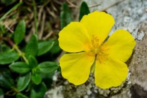 Common rock-rose - Helianthemum nummularium.