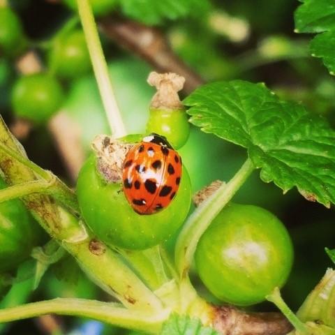 Wildlife garden ladybird