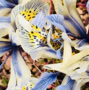 Iris Reticulata Katherine Hodgkin