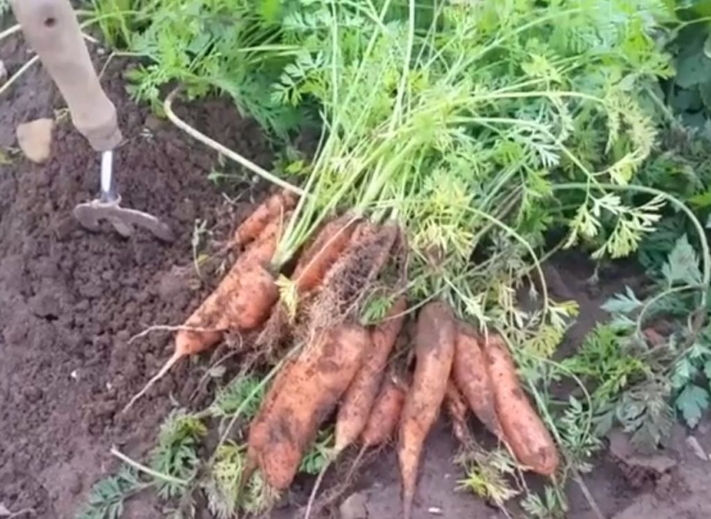 Harvesting Root Vegetables – The Veg Gardeners' Glossary